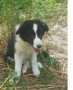 Puppies for sale Border collie show class