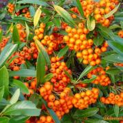 Pyracantha Orange Glow, P9, wholesale